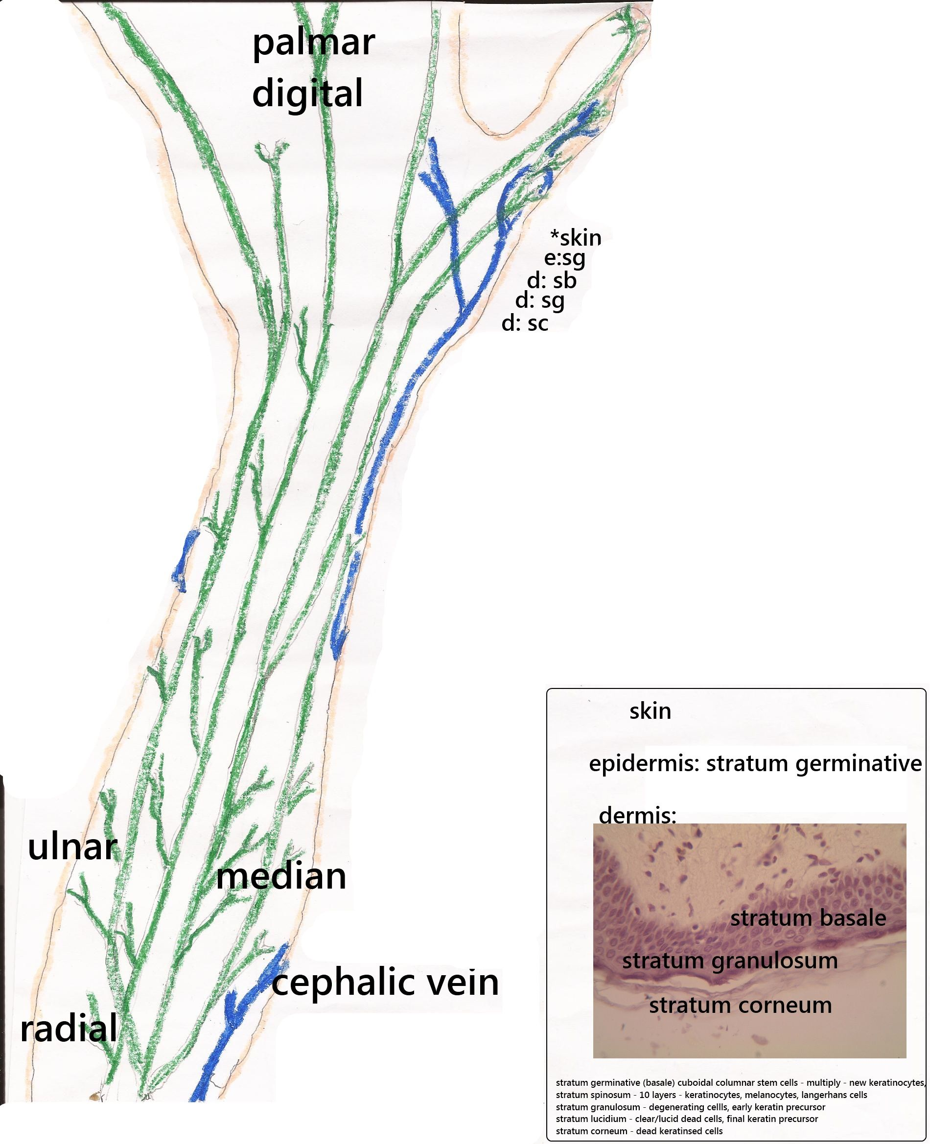 diagram of arm muscles and nerves stop and take a look at this  [ 1900 x 2338 Pixel ]