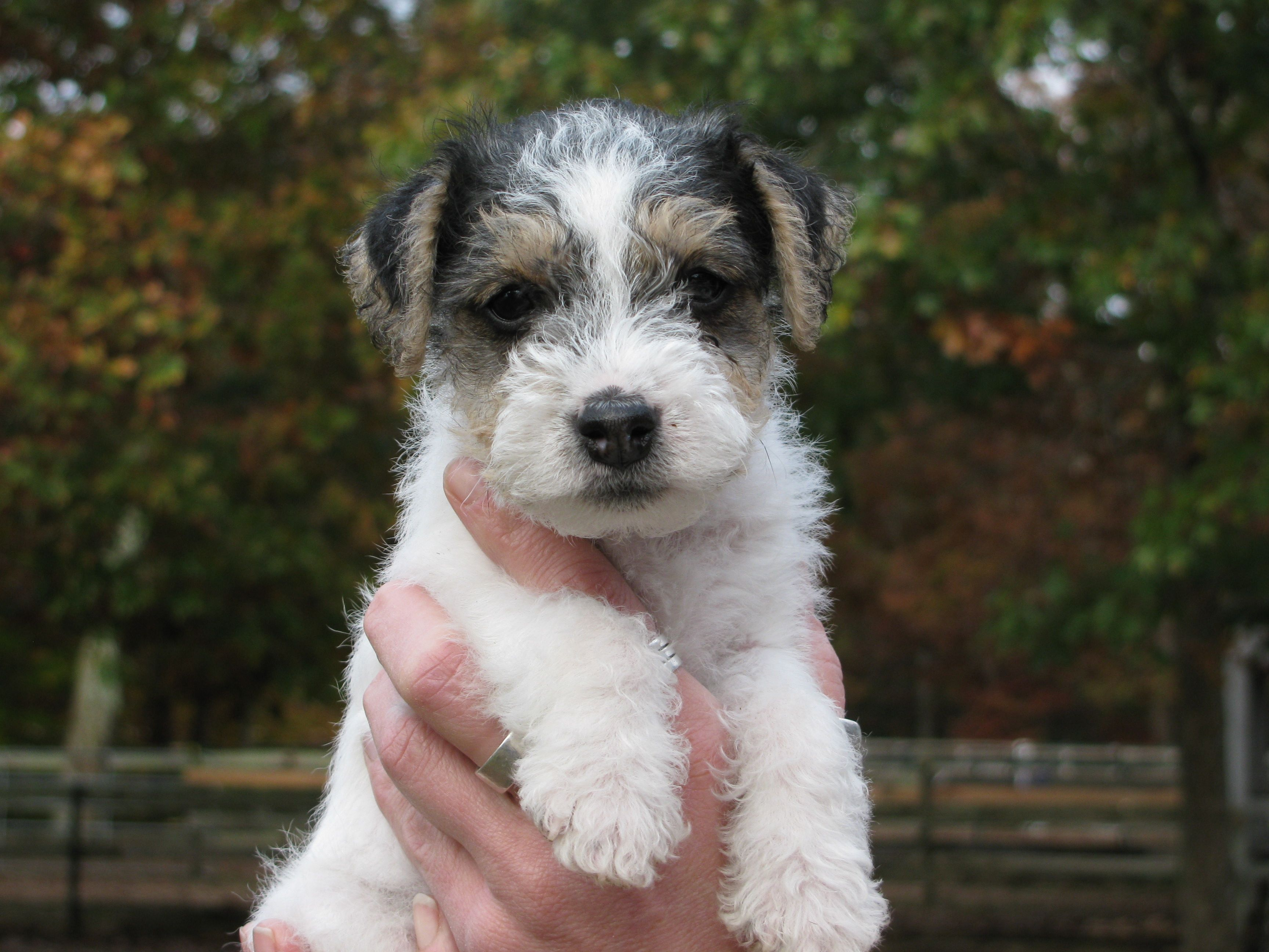 jack russell terrier and shih tzu mix - Google Search~Looks like my ...