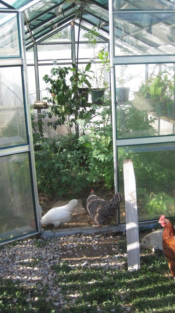 Misconceptions about raising backyard chicken hens in the ...