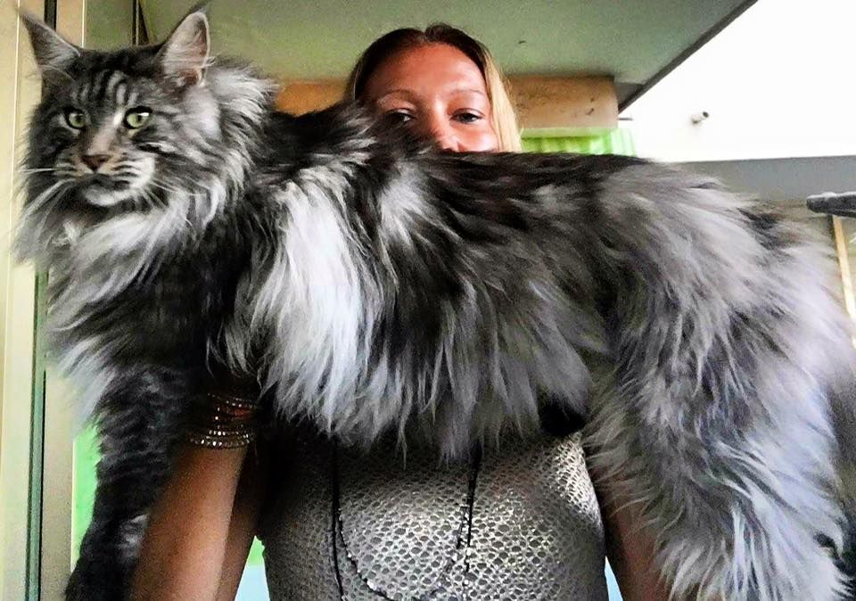 Pin On Maine Coon Cat Helios
