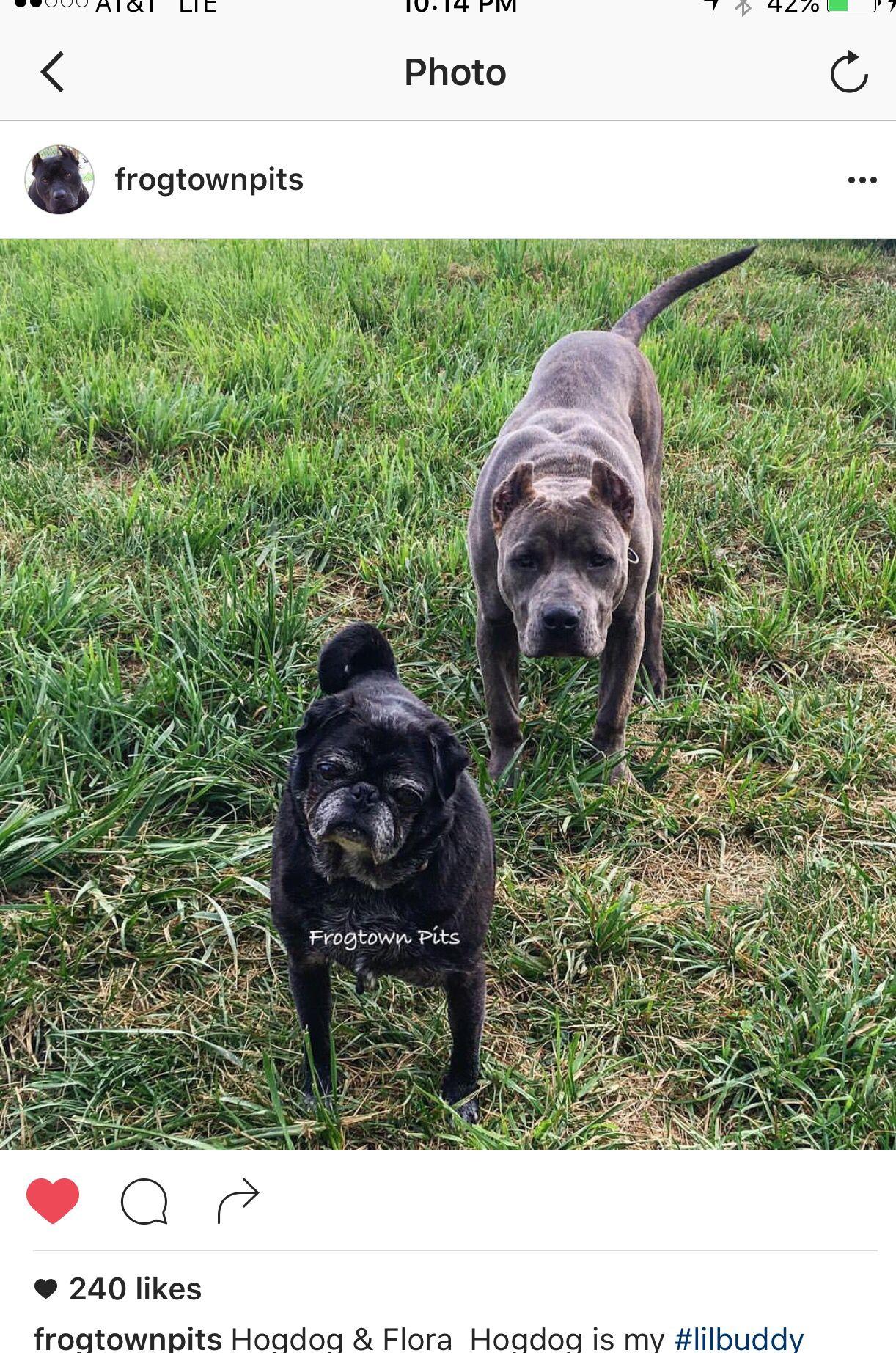 Hogdog my pug rescue and cashfloflora at 6 months pug