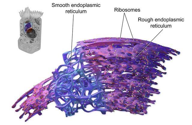 endoplasmic reticulum structure revealed | Nuclear ...