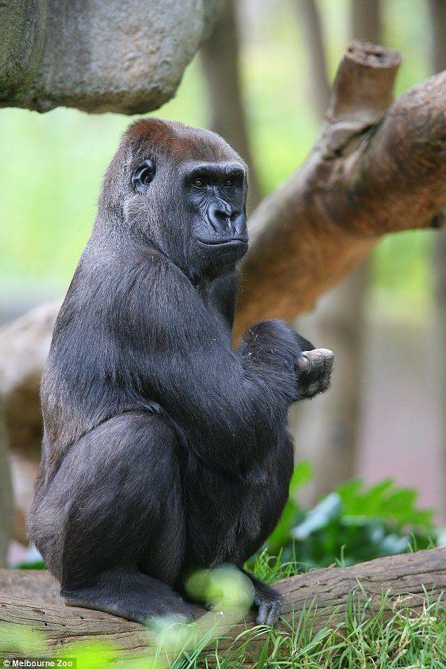 Bikini gorilla picture #4