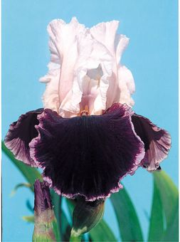 """Sweeter Than Wine"" - this iris may be the only thing sweeter than wine."