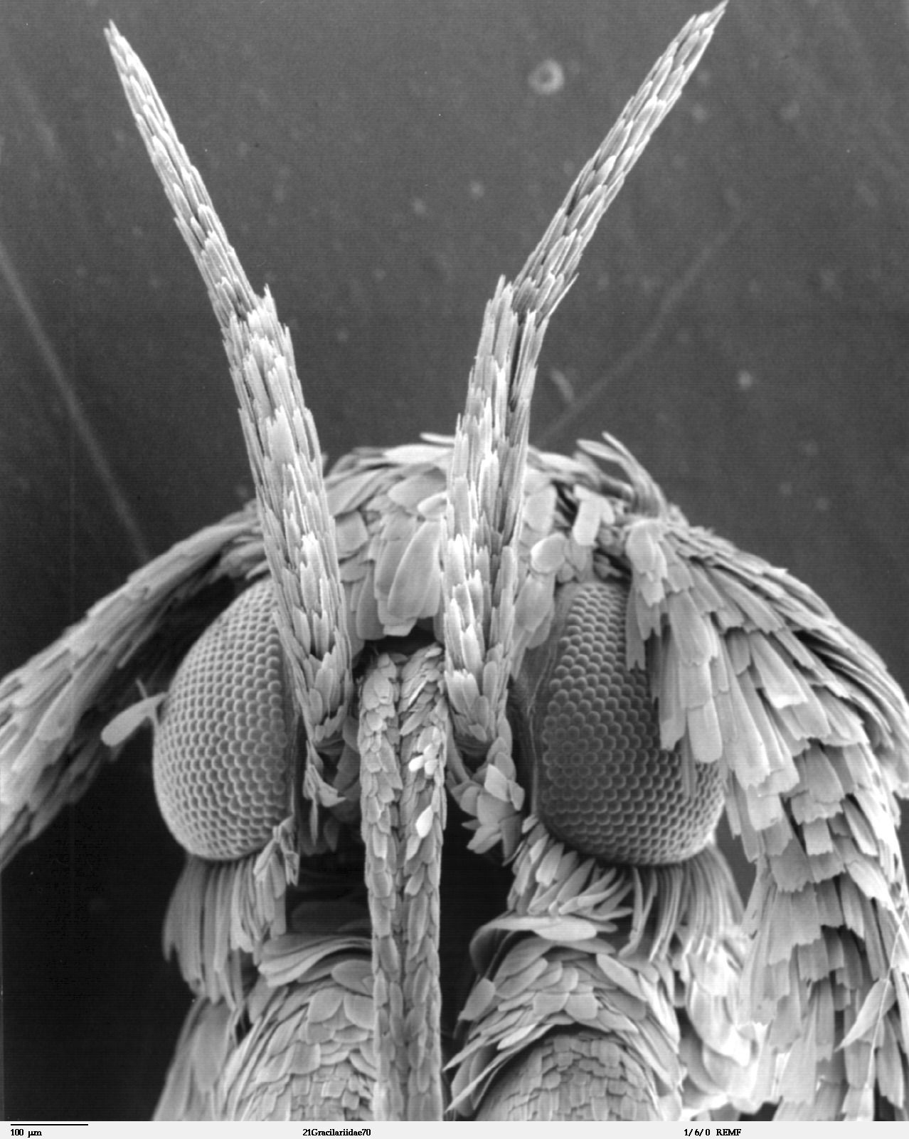 Scanning electron microscope image of a leaf miner moth ...