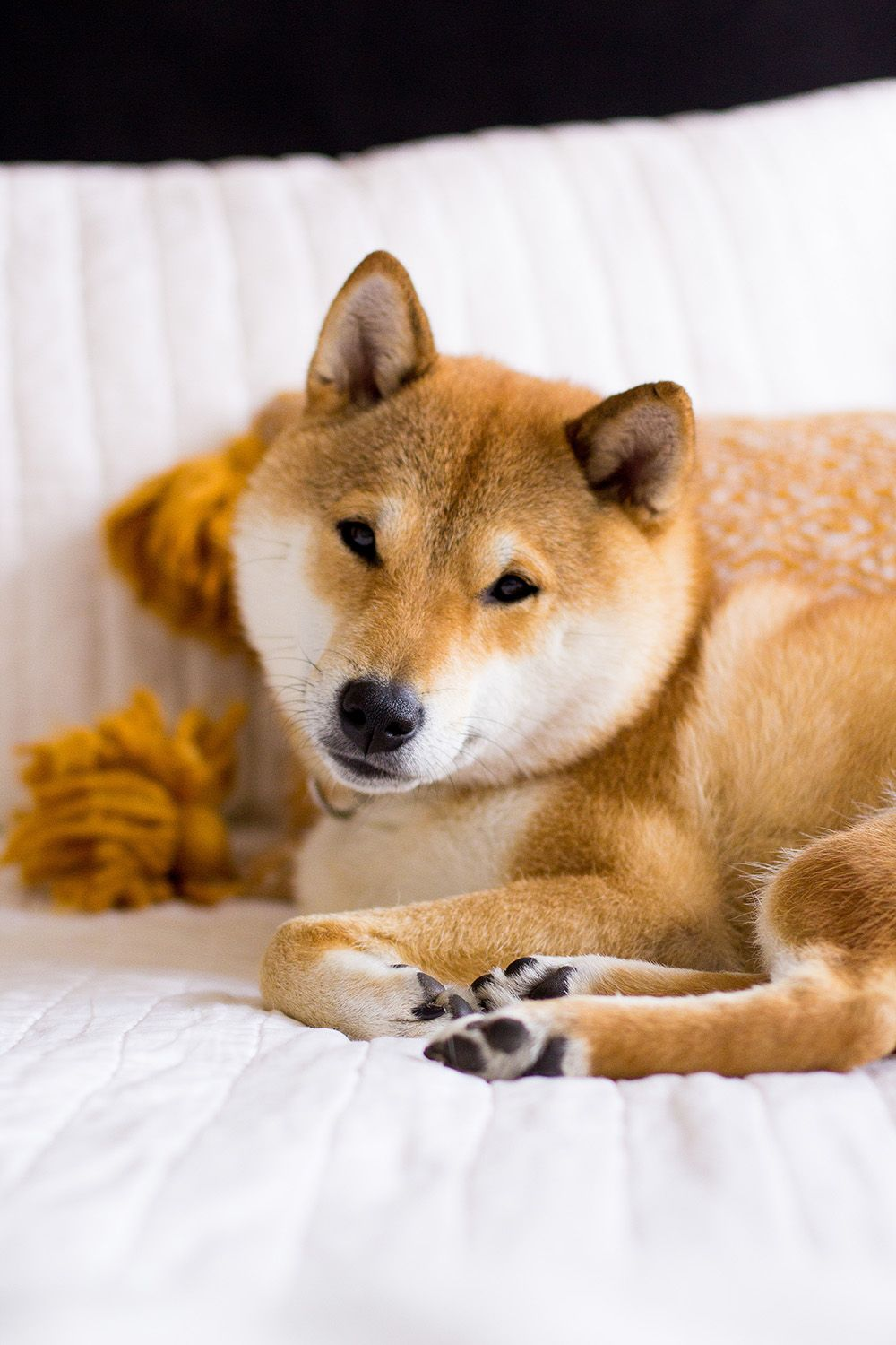 Five Snaps The Fox She Cute Dogs Fox Dog Japanese Dogs