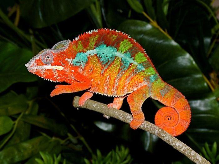 Chameleon おしゃれまとめの人気アイデア Pinterest American Design Dr Gabor Neme カメレオン トカゲ 爬虫類