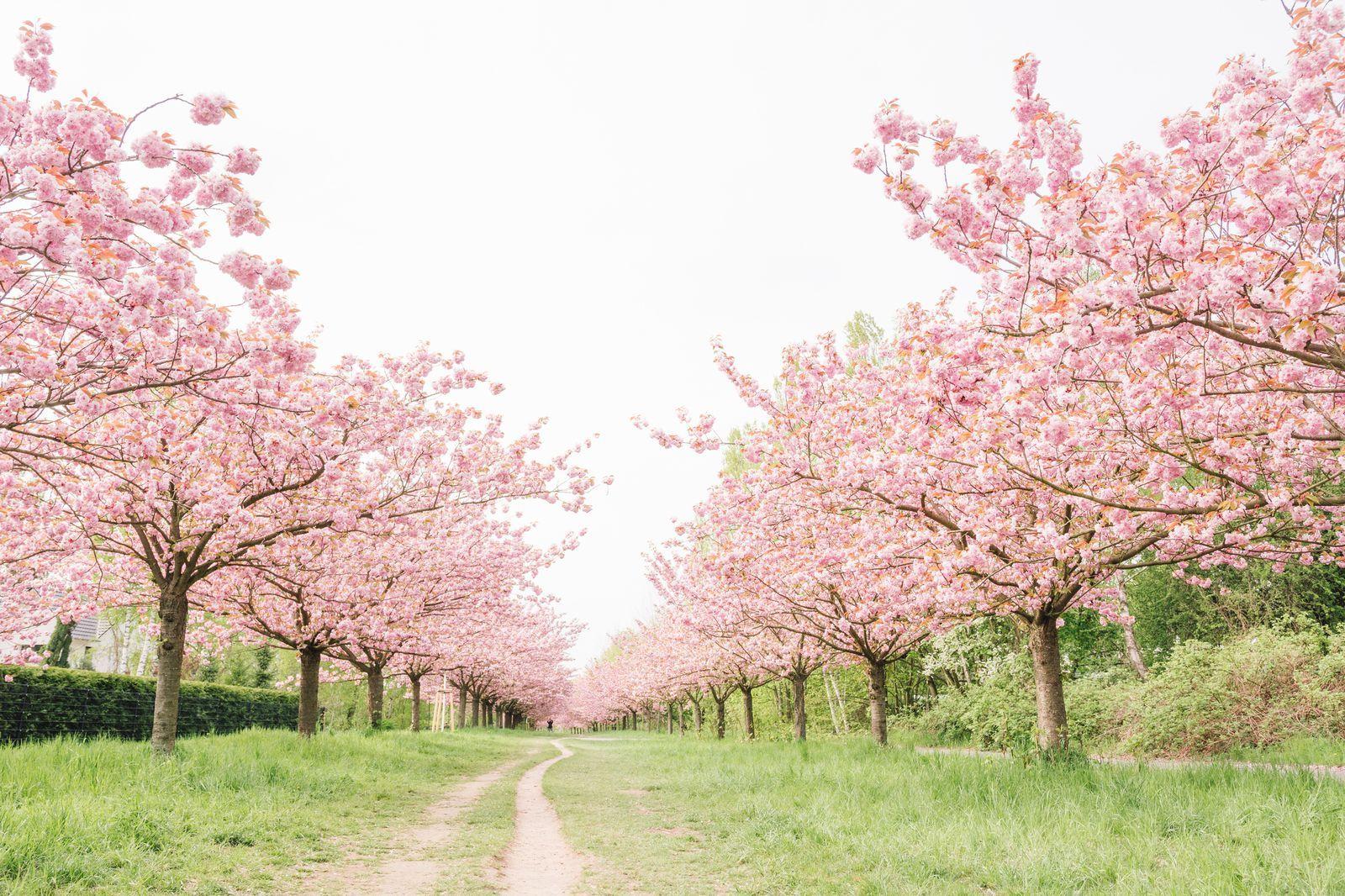 Cherry Blossom Tree Facts That You Definitely Never Knew Before Pink Blossom Tree Cherry Blooms Cherry Blossom Tree