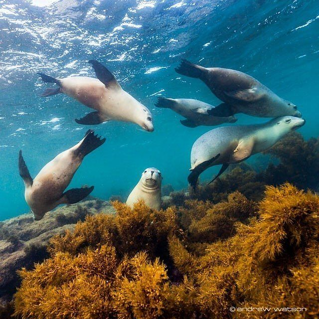"""""""Come on boys, end of season group photo..."""" - it's time for a well-earned break for the sea lions of @southaustralia - the swim with the sea lions season is wrapping up until September. The sea lions actually hang out all year round off Port Lincoln and Baird Bay on the @eyrepeninsula, but the water's a bit chilly at this time of year to run swim tours - however if you're planning a trip later in the year, this epic experience is definitely one to add to your itinerary! Photo…"""