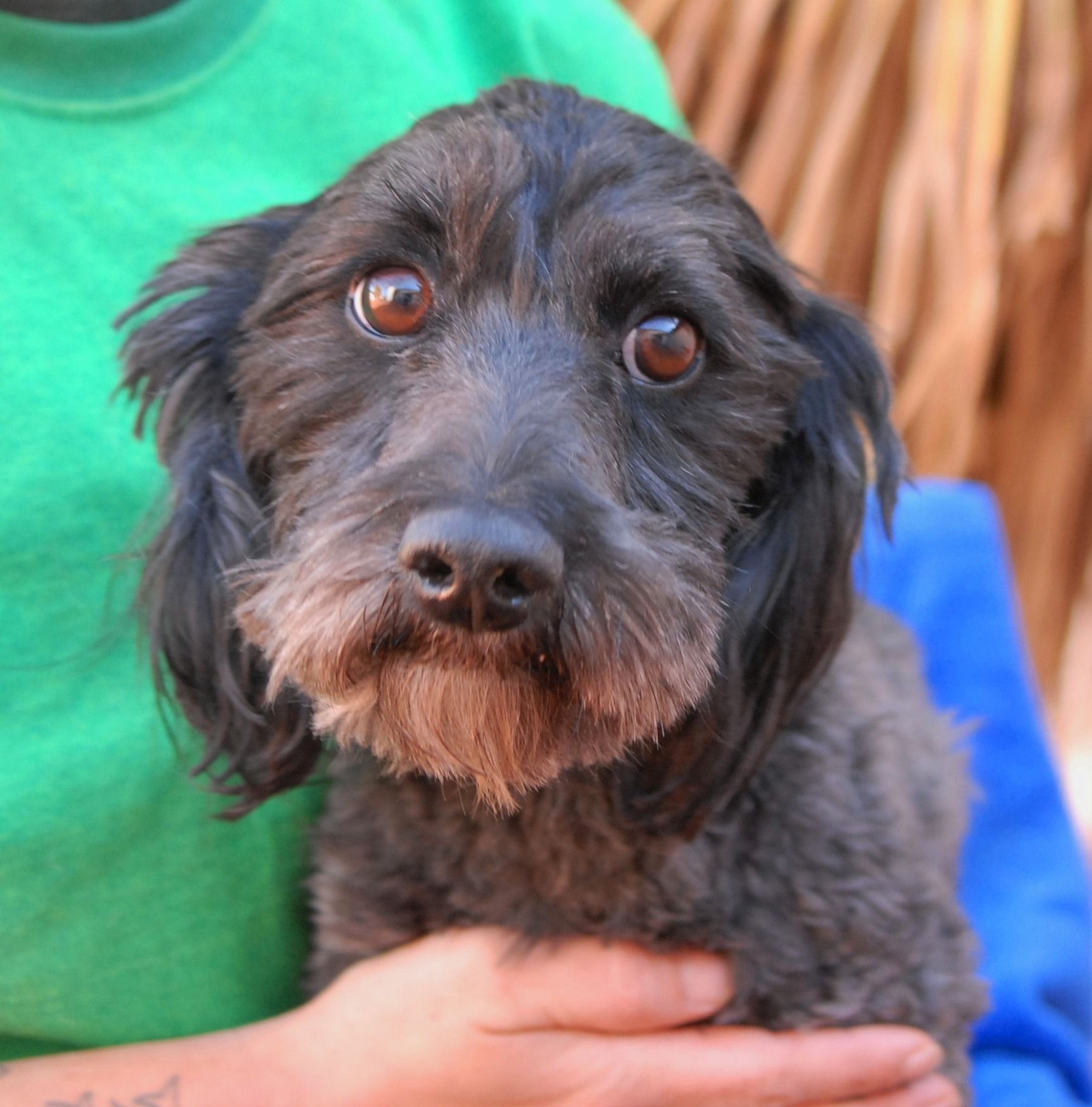Olivia is ready to bloom and we are so happy to help her discover what a responsible, loving home feels like. This angelic girl was found near one of the busier intersections in Las Vegas with no sign of responsible ownership (no ID tag, no microchip ID, not spayed). Olivia is a darling, quiet-natured Cockapoo, 4 years of age, good with other dogs, now spayed and debuting for adoption at Nevada SPCA (www.nevadaspca.org).
