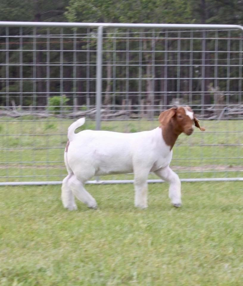 Pin by Leah Betts on Boer show goats | Boer goats, Kiko