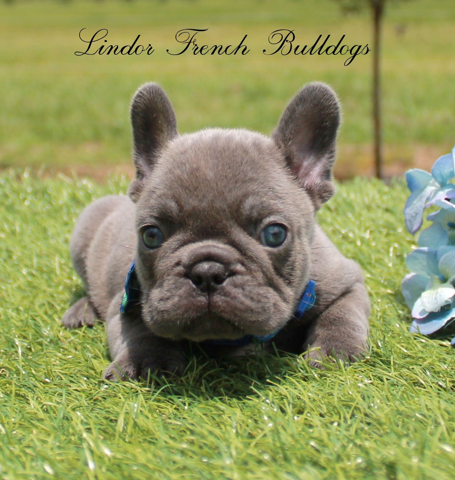 Home Lindor French Bulldogs Frenchies For Sale All Colors French Bulldog Puppies French Bulldog Lilac French Bulldog