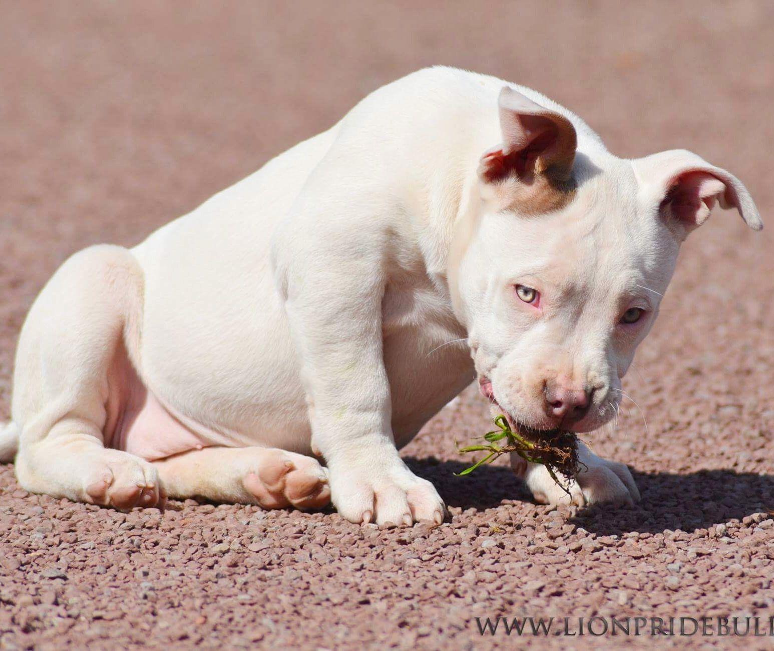 PANDORA Chiot puppy puppies American bully Giant XL XXL