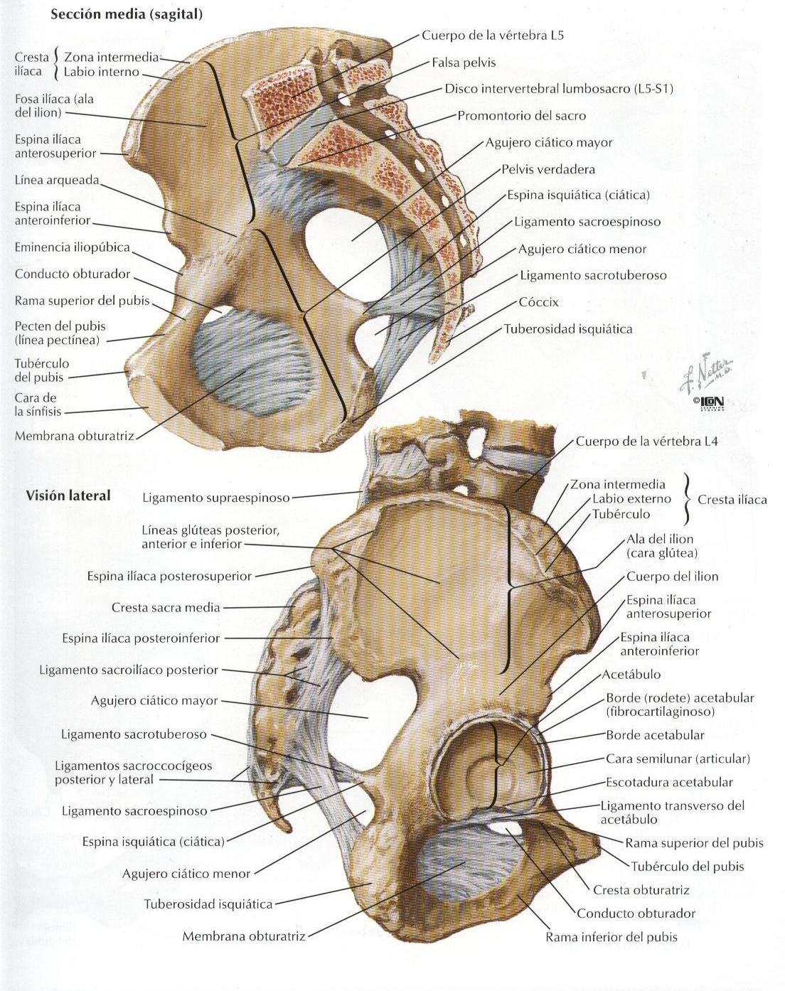 Créditos a: Atlas de Anatomía Humana Netter 2da. Edición | cuerpo ...