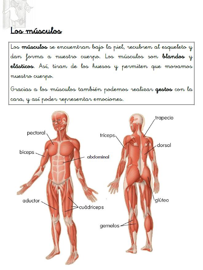 Resumen sobre los músculos | El cuerpo humano | Pinterest
