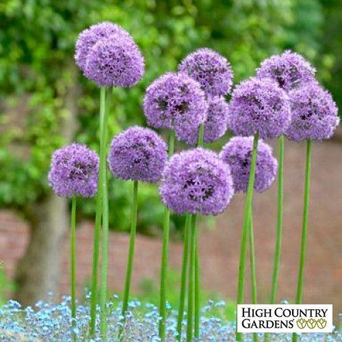 Gladiator Allium Allium Flowers Bulb Flowers Flower Pots