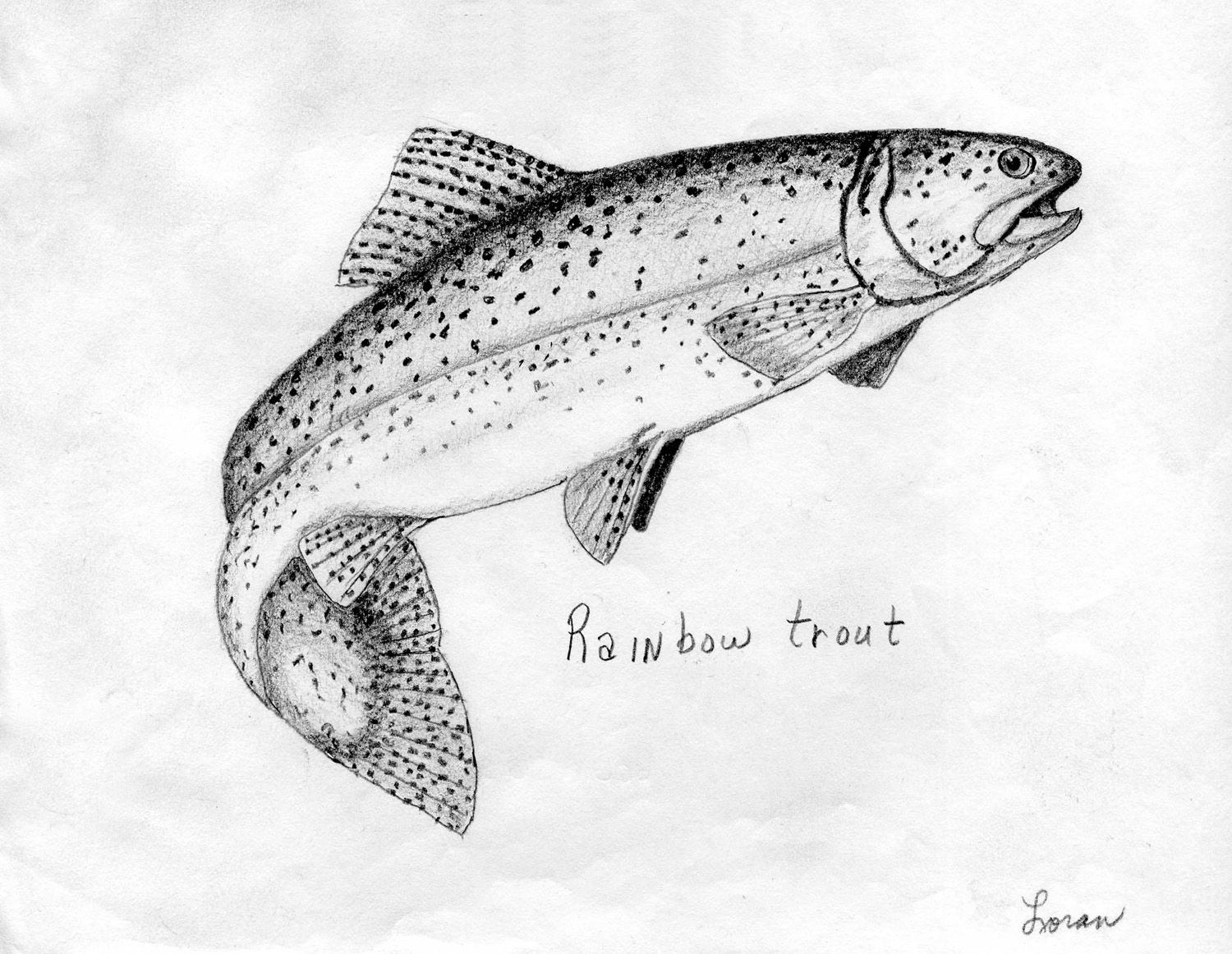 Field Drawing Rainbow Trout Google Search Trout Tattoo Fish