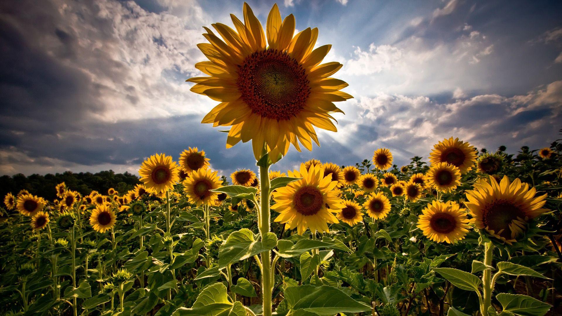 Field Of Sunflowers Sunflowers Field 1920x1080 16 9 Flower Background Images Sunflower Wallpaper Flower Backgrounds