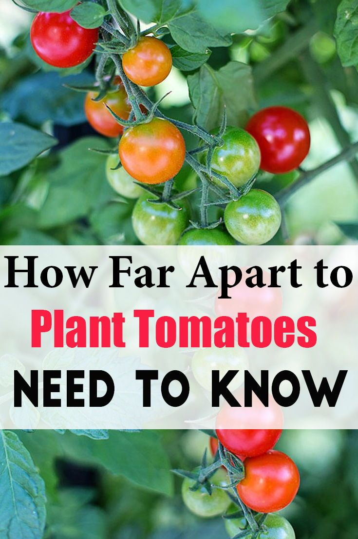 How Far Apart To Plant Tomatoes Need To Know Tomato Plants Easy Plants To Grow Tomato