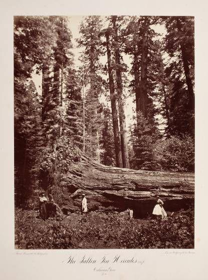 The Fallen Tree Hercules 325 ft. Calaveras Grove No. 30