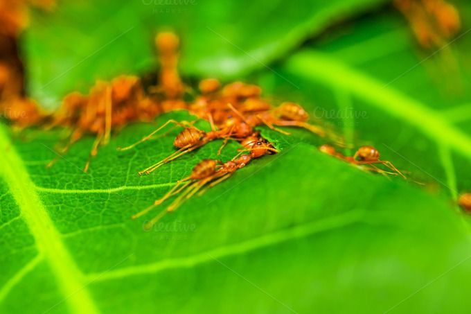 Red ants team work. by Pushish Images on @creativemarket