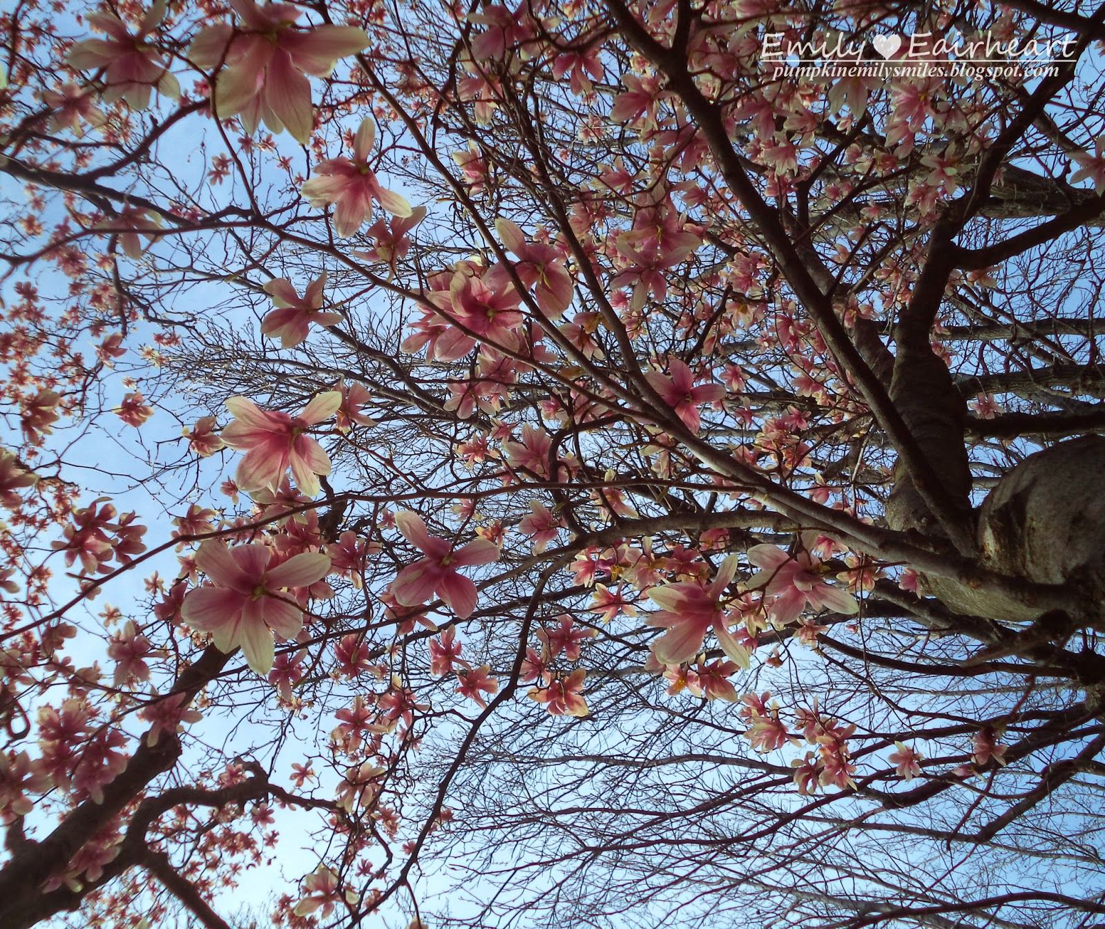 Another awesome perspective shot of a tree with flowers. #Flowers #Pretty #Beautiful #Pink #Outdoors #Photography