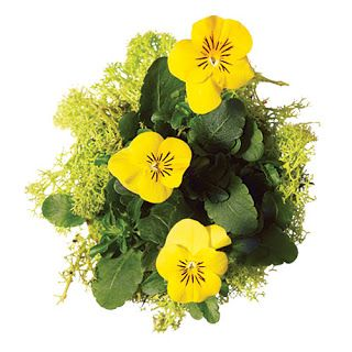violas and reindeer moss - a great tabletop piece
