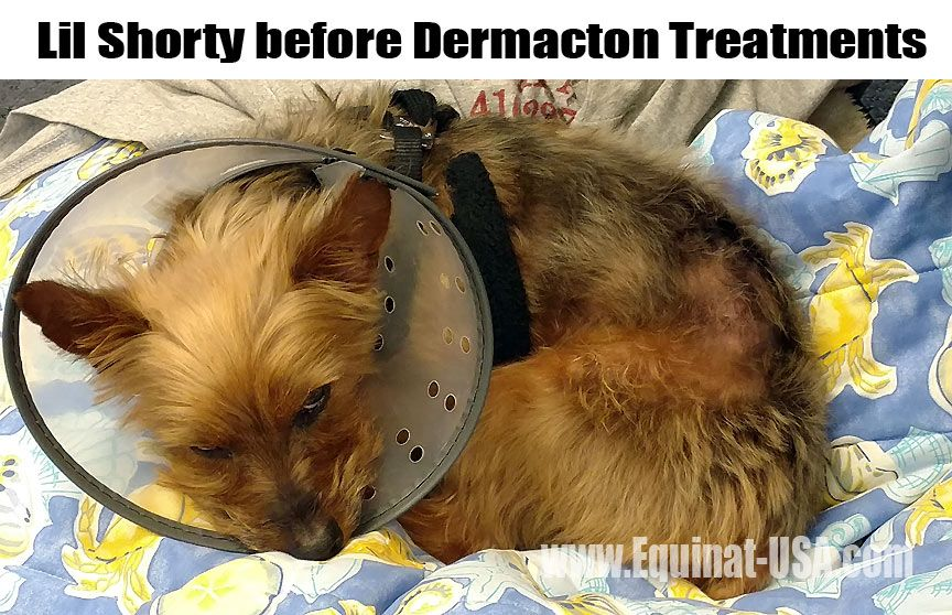 Yorkie mix hair loss solution