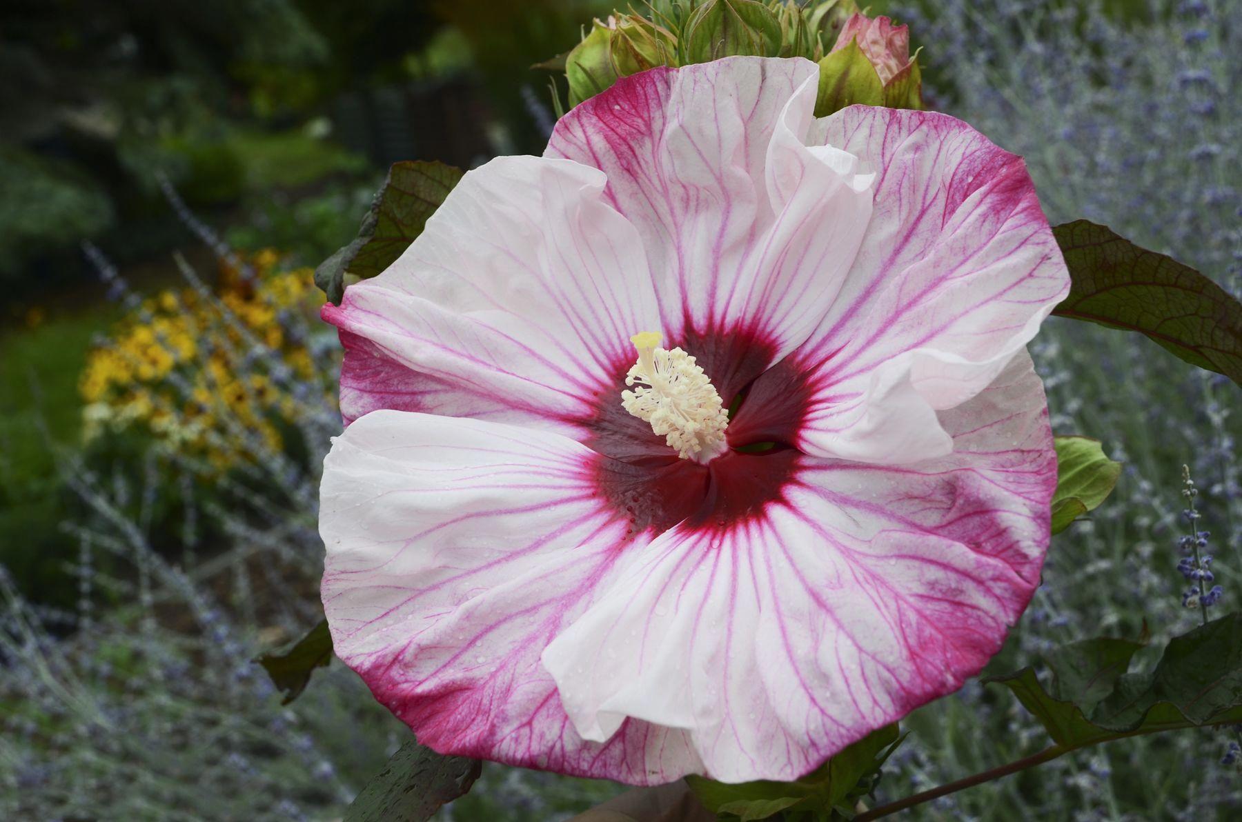 Hibiscus Flower Anatomy Hibiscus Hibiscus In 2019 Hibiscus