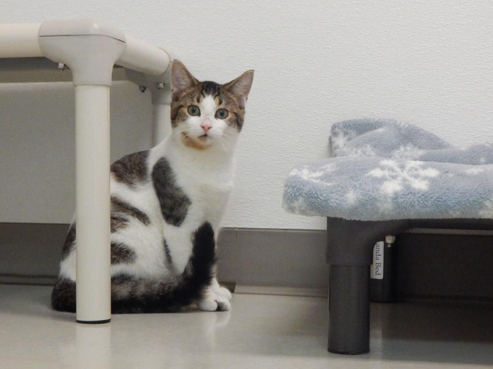 Meet Benny, an adoptable Domestic Short Hair looking for a forever home. If you're looking for a new pet to adopt or want information on how to get involved with adoptable pets, Petfinder.com is a great resource.