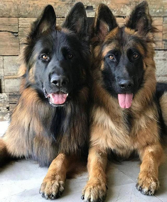 Discover Even More Information On German Shepherds Take A Look At Our Internet Site Shepherd Dog German Shepherd Dogs German Shepherd Puppies