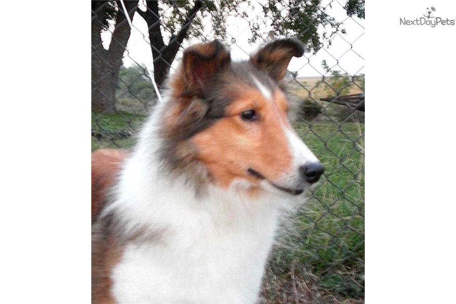 Meet Eva A Cute Shetland Sheepdog Sheltie Puppy For Sale For 400 A Home Of Her Own Sheltie Puppy Shetland Sheepdog Sheltie