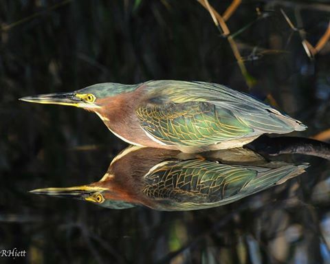 Green Heron - Photo from Animal Wise Facebook Page - 16.10.04  ( Photo credit to R. Hiett)