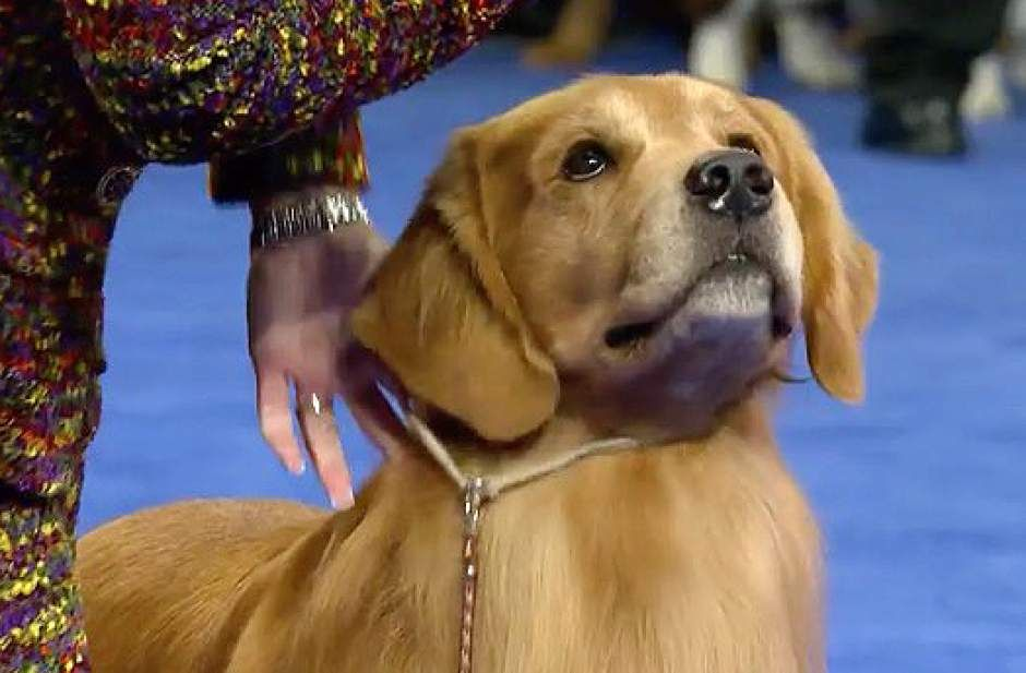 Ligonier Golden Retriever Competes In National Dog Show Triblive