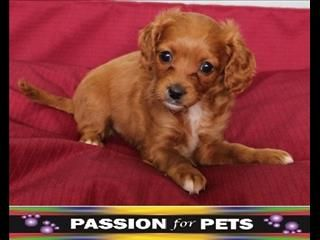 Cavoodle 3 4 Cavalier 1 4 Toy Poodle Dogs Dogs And Puppies Pets