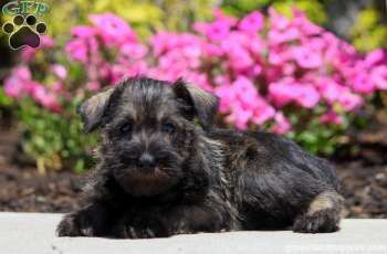 Here comes Yori, a gentle and sweet Miniature Schnauzer puppy with a friendly personality. This happy pup is vet checked and up to date on shots and wormer. Yori can be registered with the ACA and comes with a health guarantee provided by the breeder. To find out more about this darling pup, please contact Wilmer today! •Wilmer Stoltzfus has been recognized for his quality breeding practices by achieving the rank of ACA 3 star Breeder