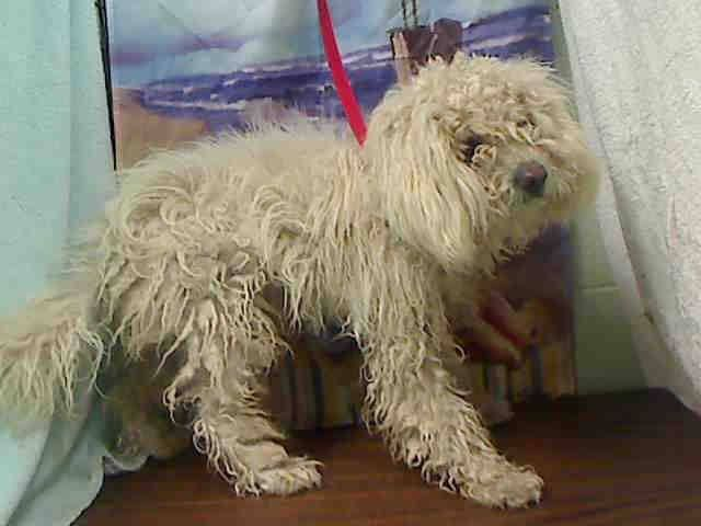 Pin by Marta Iturribarria on *SMALL BREED Dogs URGENT