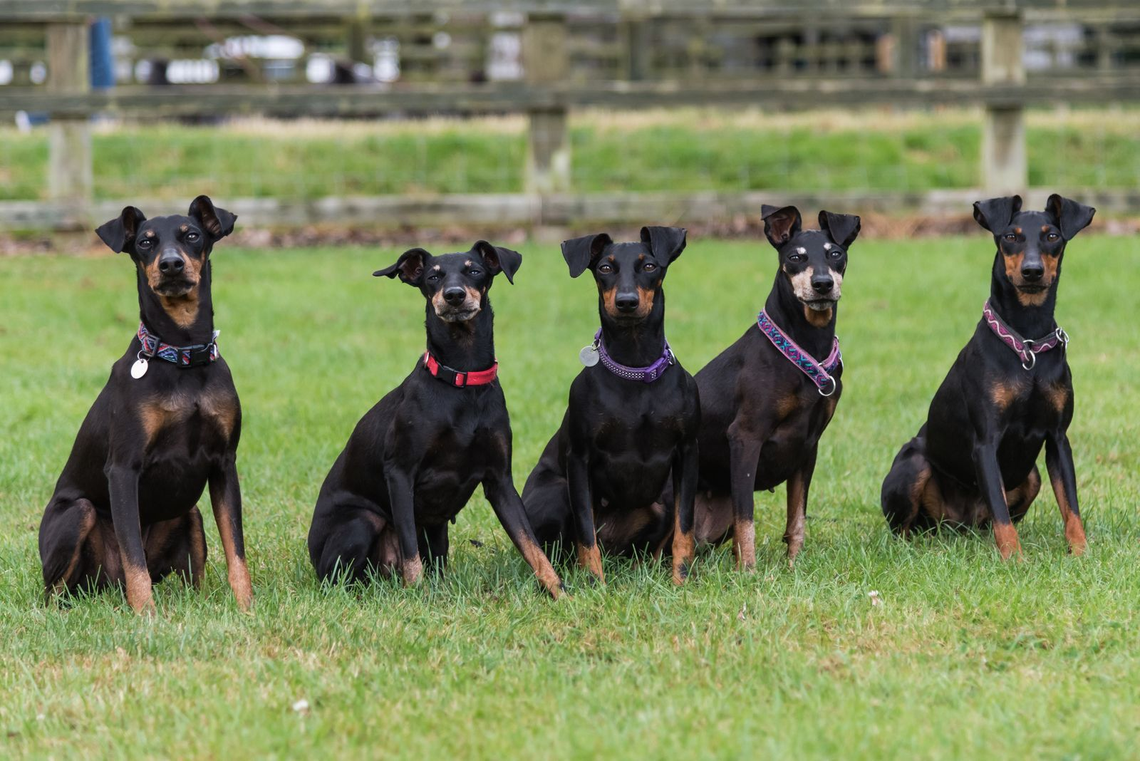 30 Uk Native Dog Breeds That Are At Risk Of Going Extinct Dog