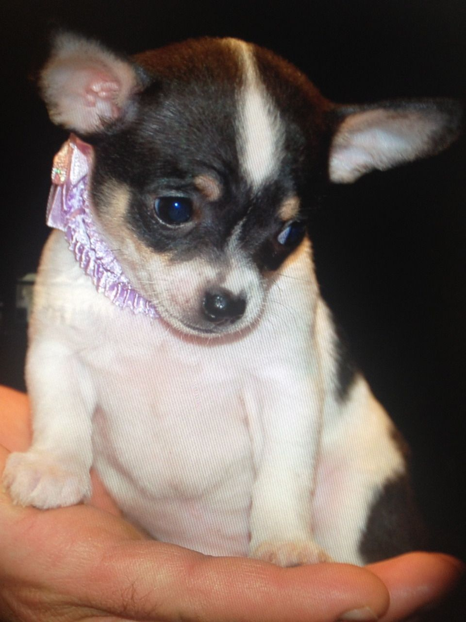 Extra Tiny Teacup Chihuahua Puppies Short Cobby Bodies With
