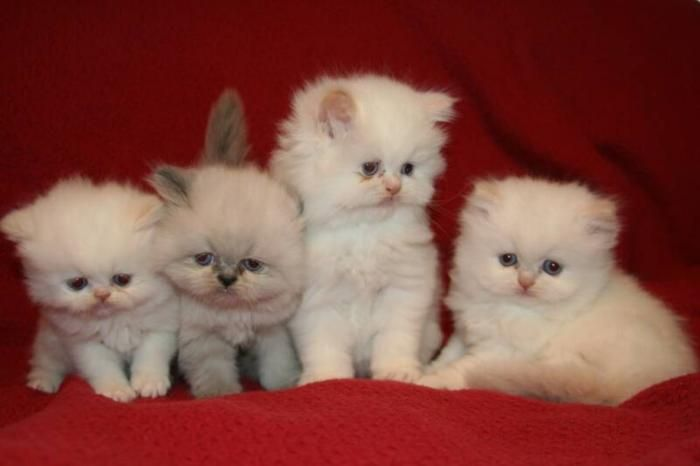 mini persian kittens   MummysShoes: This Week Carly Loves....TeaCup Persian Cats