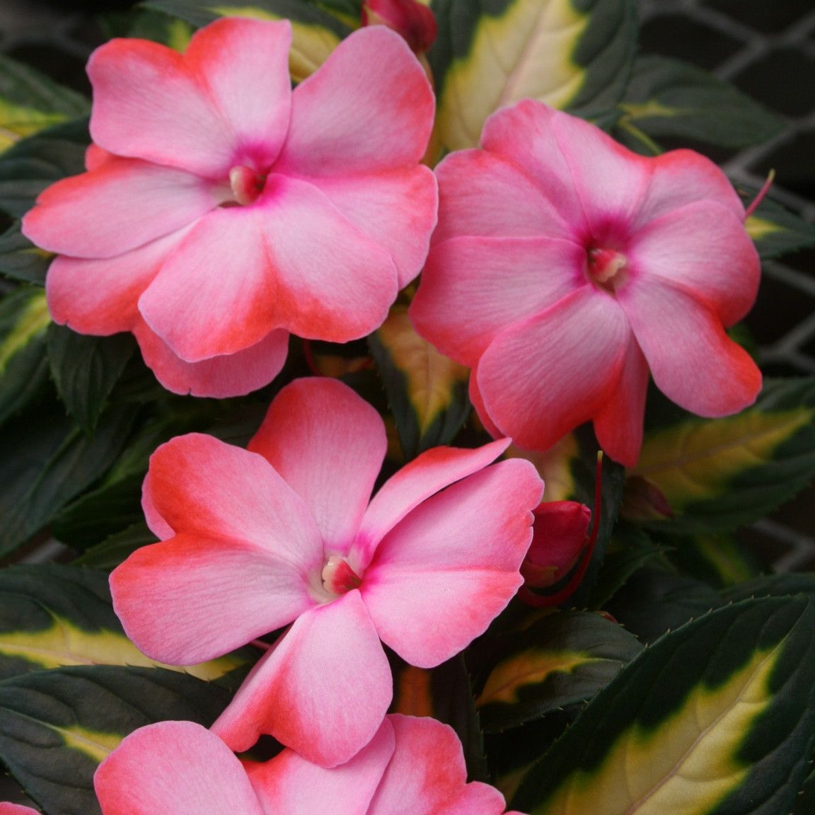 New Guinea Impatiens Have Become A Perennial Favorite Of Gardeners