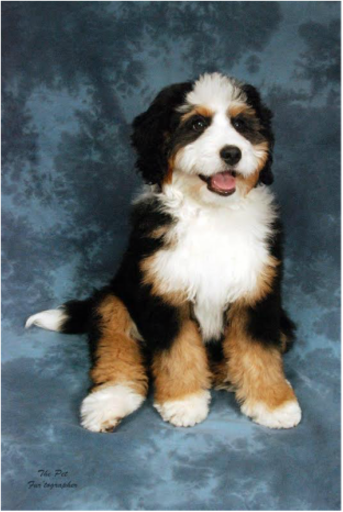 Pin by Rocky Mountain Bernedoodles on Bernedoodle Puppies