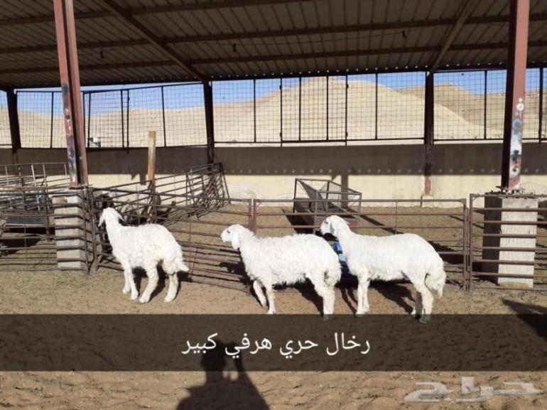 ذبايح الرياض من مؤسسه الموارد ذبايح للبيع بالرياض ذبايح في الرياض ذبايح الموارد بالرياض ذبايح الرياض ذبايح للبيع في الرياض Animals Goats