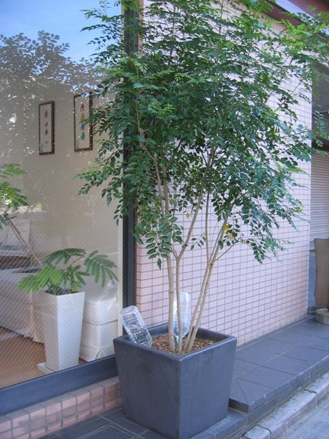 鉢植え 木 目隠し の画像検索結果 玄関 植木 庭 木 鉢植え