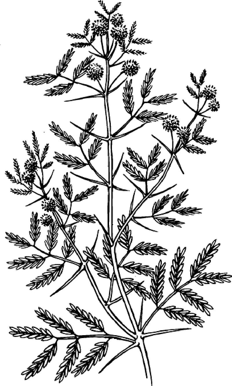 Outline Leaf Tree Plant Tattoo Acacia Botany Public Domain Tattoo Ideen Ideen