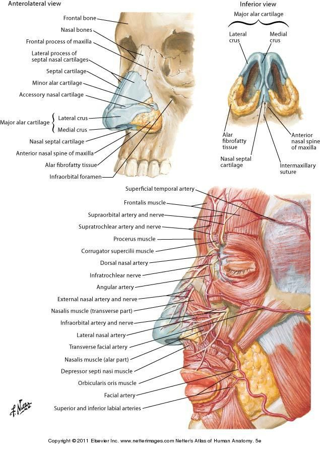 Arterial supply face | Anatomy, Physiology & Nursing | Pinterest ...