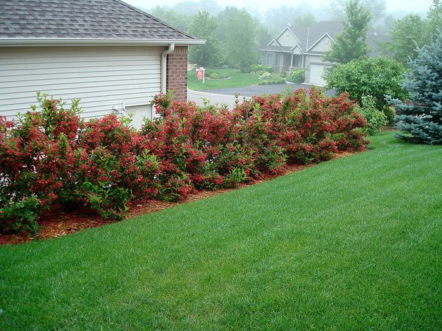 red prince weigela backyard blooms pinterest plants gardens and front yards. Black Bedroom Furniture Sets. Home Design Ideas