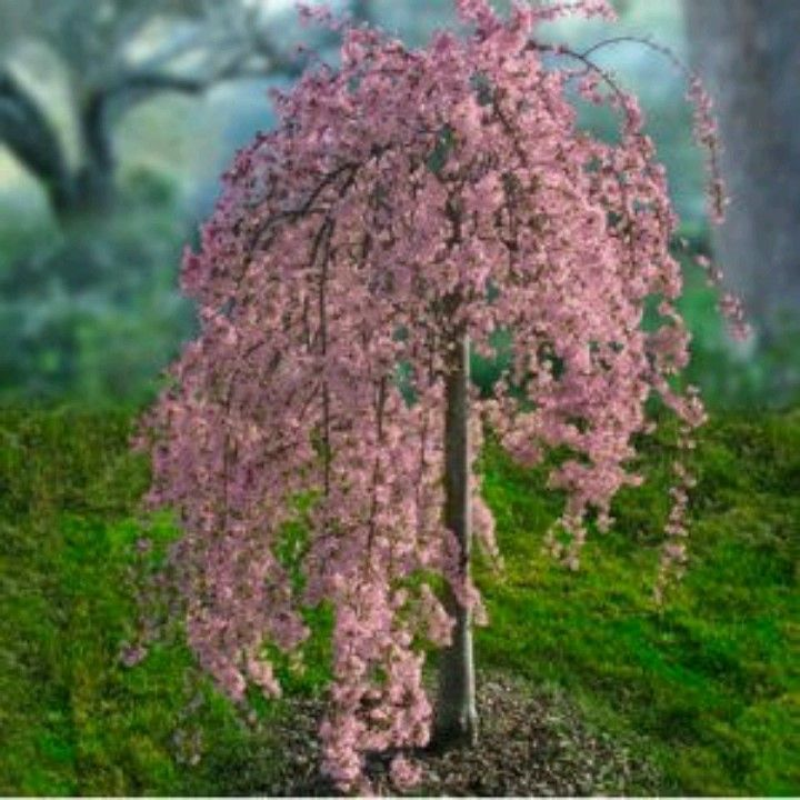 Pink weeping cherry tree absolutely gorgeous really for Small evergreen flowering trees