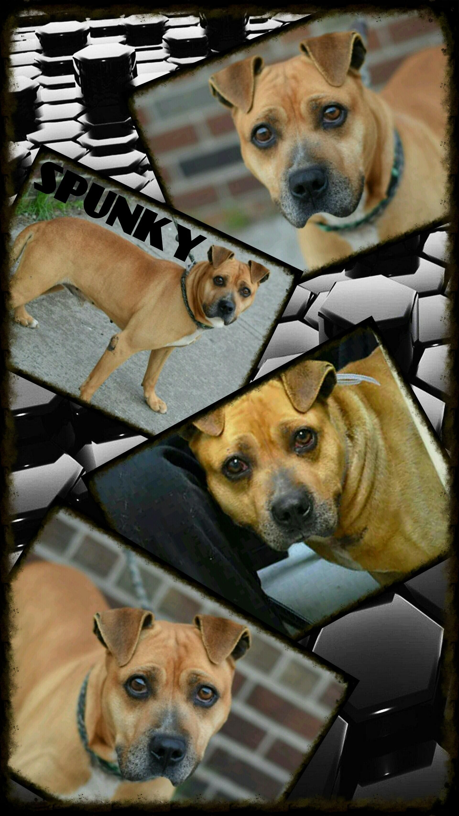 SUPER URGENT TO BE DESTROYED – 05/01/15 Brooklyn Center-P My name is SPUNKY. My Animal ID # is A1034088. I am a male brown and black pit bull mix. The shelter thinks I am about 3 YEARS old. I came in the shelter as a OWNER SUR on 04/23/2015 from NY 11691, owner surrender reason stated was LLORDPRIVA. http://nycdogs.urgentpodr.org/spunky-a1034088/