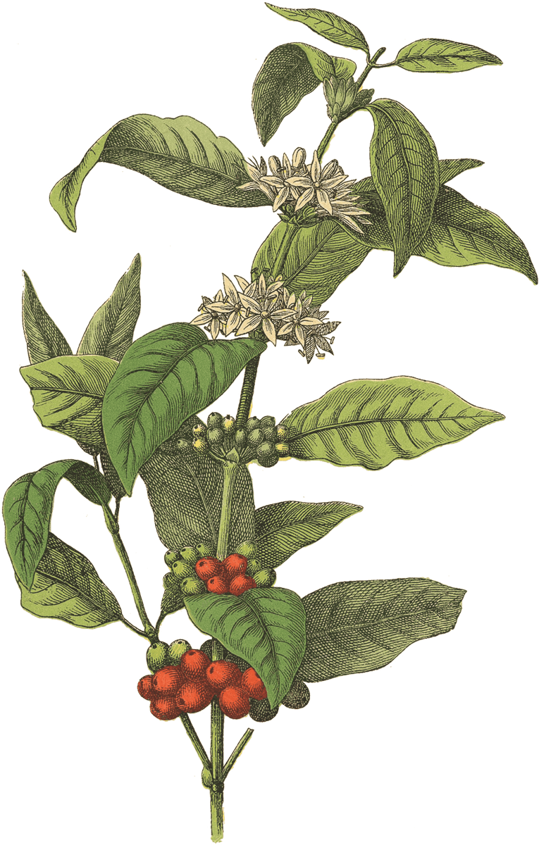 Red Rooster Coffee Coffee flower, Coffee plant, Coffee